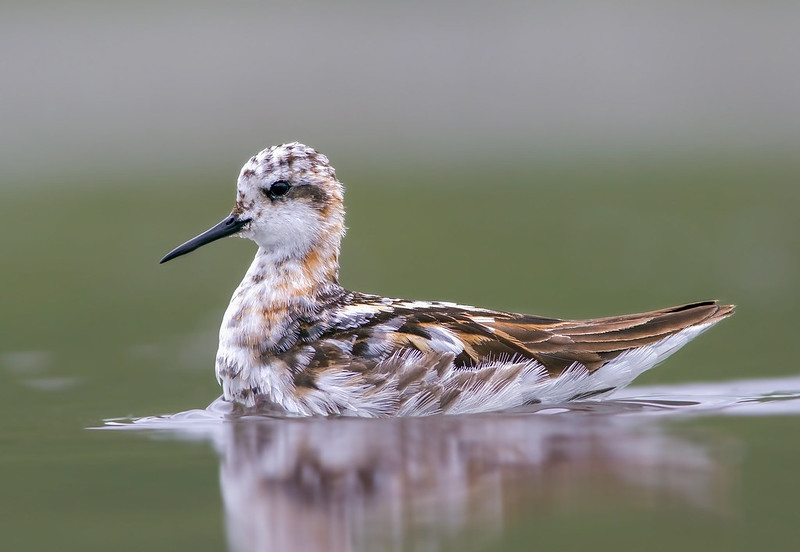Óðinshani - Red-necked Phalarope - Phalaropus lobatus