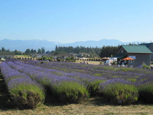 lavender fields Sequim by Southworth Sailor