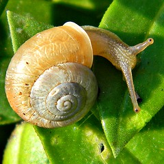 schnecken(0.0), escargot(0.0), plant stem(0.0), animal(1.0), sea snail(1.0), molluscs(1.0), snail(1.0), macro photography(1.0), fauna(1.0), close-up(1.0), slug(1.0),