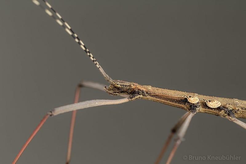 "Pseudophasma sp. ""Bolivia"" - nice, small phasmid species 9515651173_368ddf2713_c"