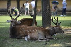 Deers of Nara