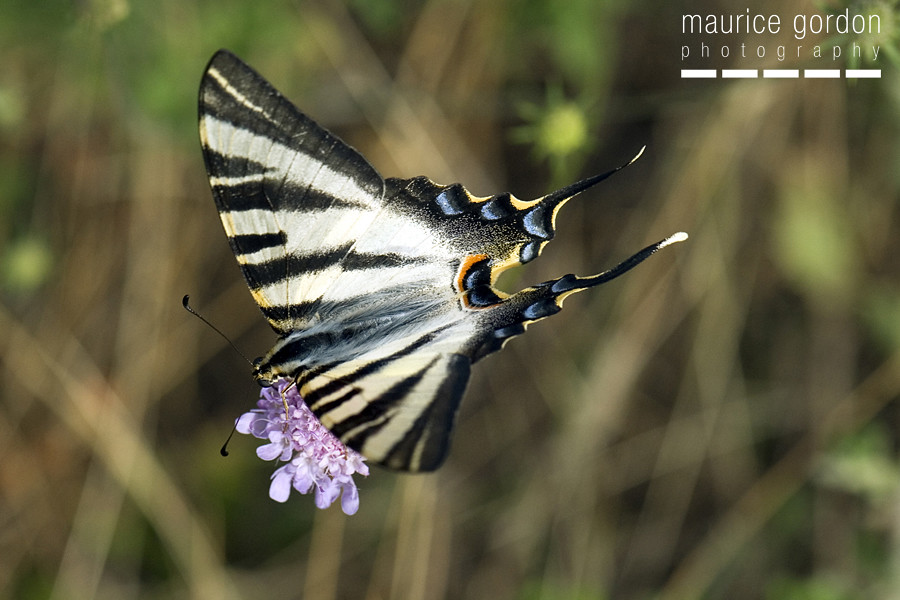 scarce swallowtail-ceret_DSC4700