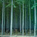 poplars by bodiegroup