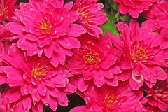 The Last Chrysanthemum