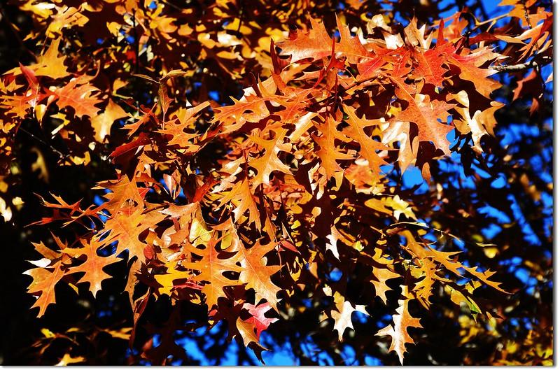 Oak(橡、櫟) in Fall, Chautauqua, Boulder 3