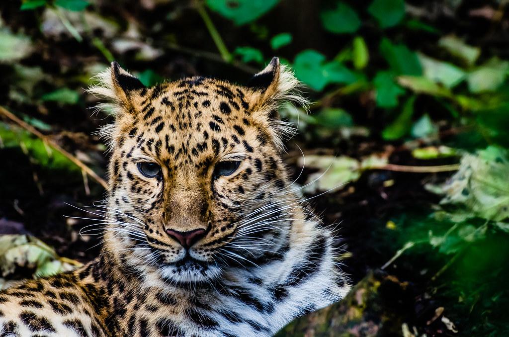 Amur Lepard