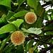 Small photo of Kodom Ful (Flower)