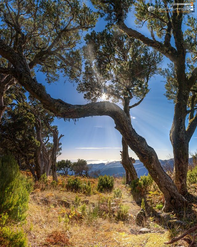 The old tree heathes at the Achada do Teixeira