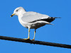 Ring-billed Gull (Larus delawarensis) by cv.vick