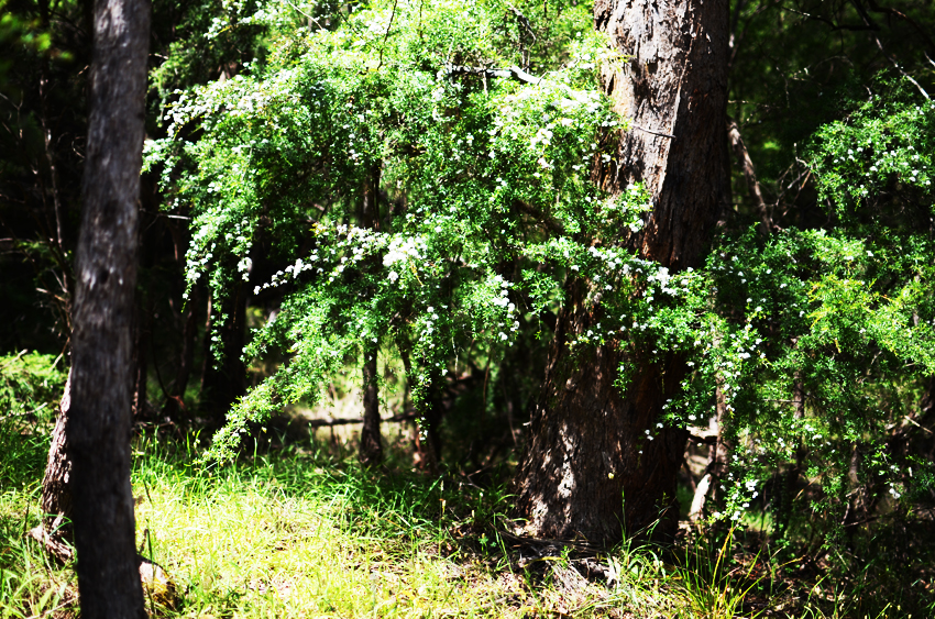green-bush a