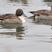 2013-12-09 Northern Pintail (09) by -jon