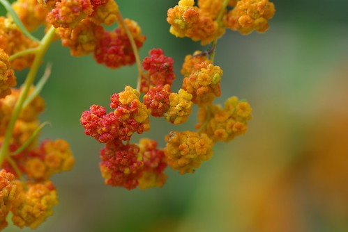 放大的紅藜果實。(圖片來源:林務局)
