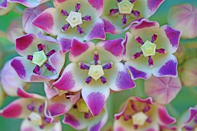 Flores de Caribe