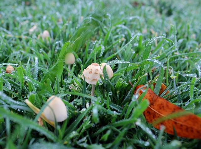 tiny mushrooms in wet grass