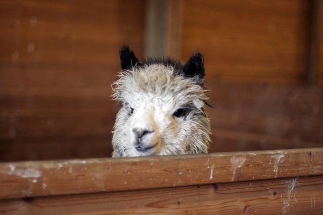 alpaca-face