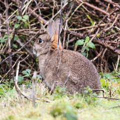 prairie(0.0), hare(0.0), pet(0.0), animal(1.0), grass(1.0), rabbit(1.0), domestic rabbit(1.0), nature(1.0), fauna(1.0), wood rabbit(1.0), rabits and hares(1.0), wildlife(1.0),
