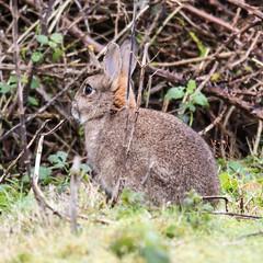 animal, grass, rabbit, domestic rabbit, nature, fauna, wood rabbit, rabits and hares, wildlife,