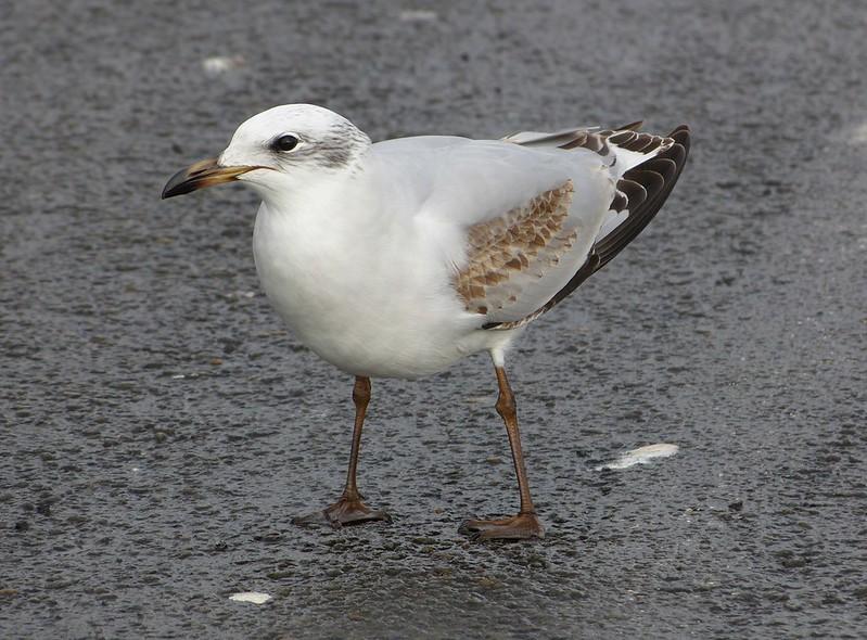 P1060757 - Mediterranean Gull, Bracelet Bay