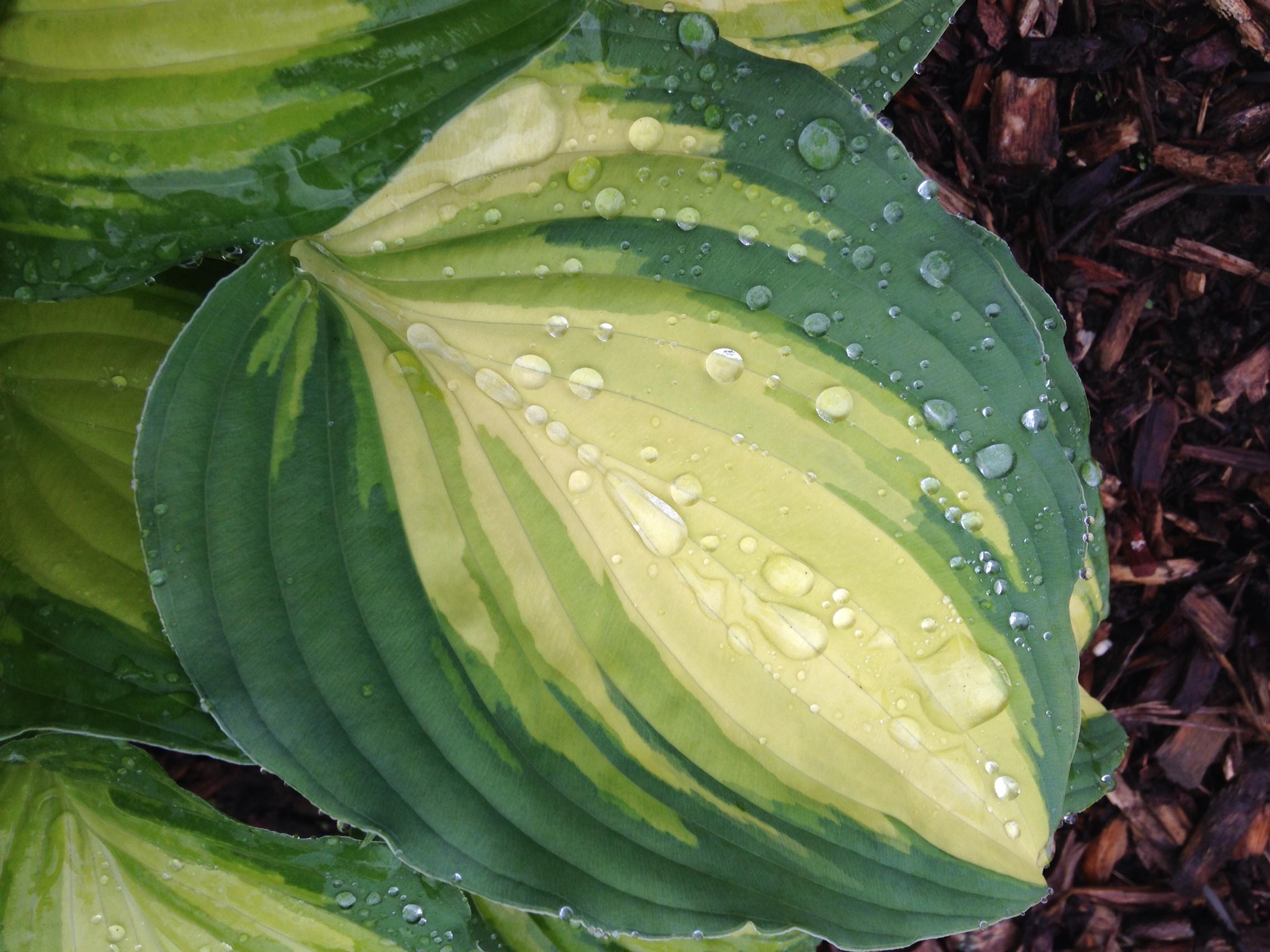 LS Love Affaire leaf