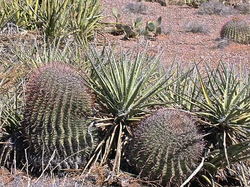 Cacti & Yucca along Sierra Trail