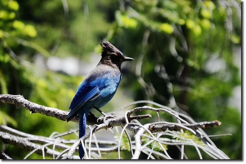 Steller's Jay bird
