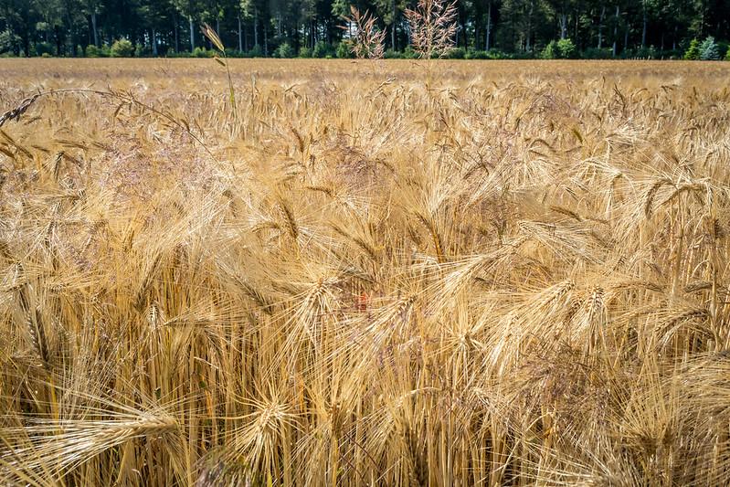 Hordeum vulgare, barley