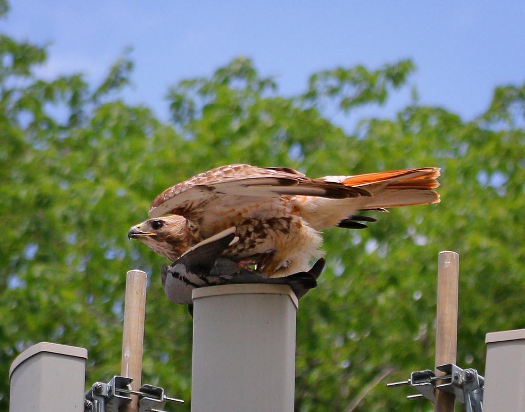 Hawk-pigeon sandwich