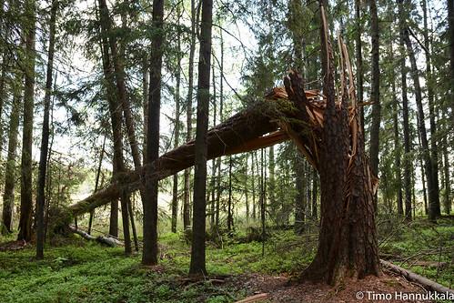 tree nature finland nikon fallen fi ruovesi siikaneva pirkanmaa d7100 soidensuojelualue