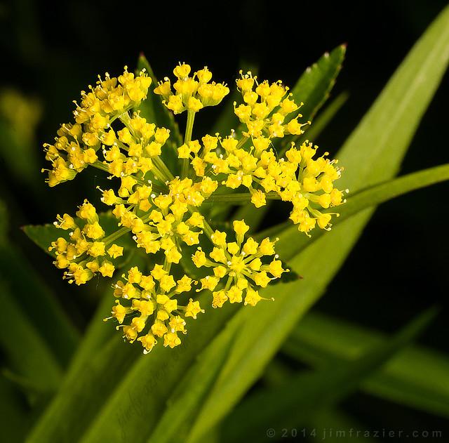 Golden Alexander