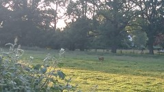 Deer in Langley Green