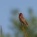 Scarlet Rosefinch (Mati Kose)