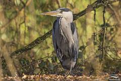 A local heron (Bernard)