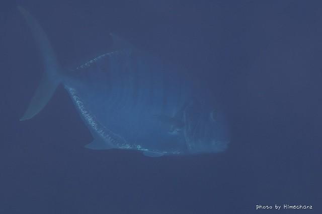 一瞬サメかと思った巨大コガネシマアジ