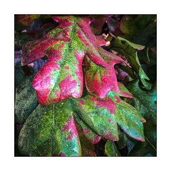 Colorful Oak