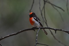 Red - capped Robin ( Male)