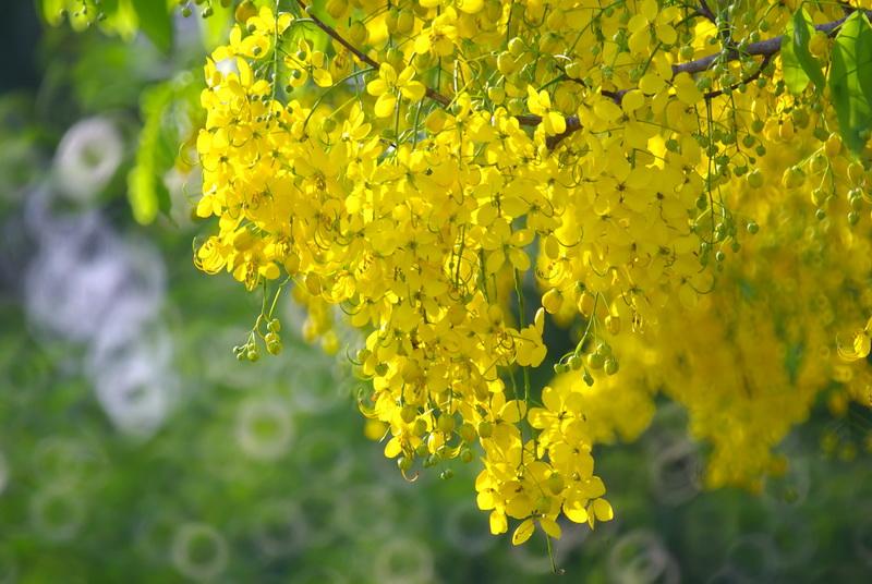 20130526夏日黃金雨