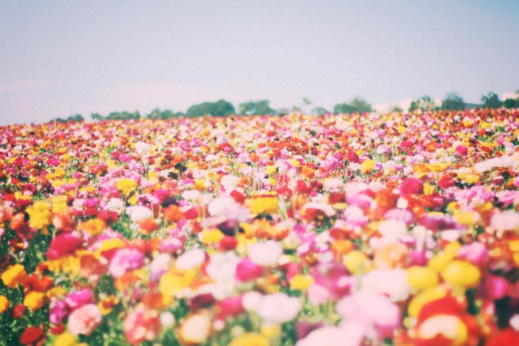 flower field 6