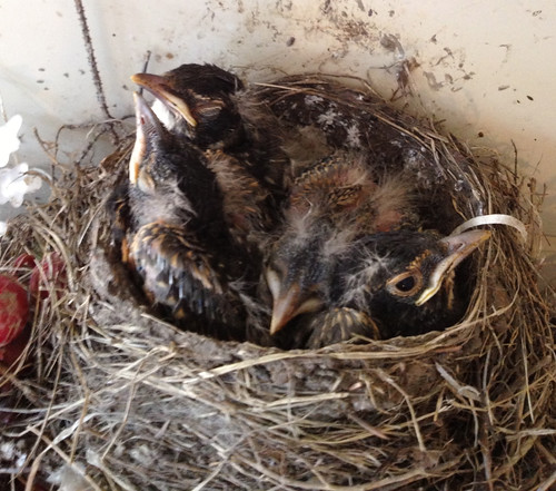baby robins Wednesday evening