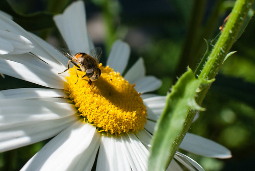 The bee and the daisy - #195/365 by PJMixer