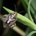 Agonoscelis puberula, African Cluster Bug