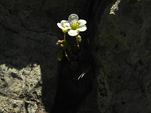 Saxifraga caesia=Saxifrage bleuâtre (4)