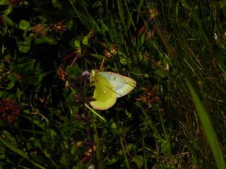 Colias phicomone, le Candide (4)
