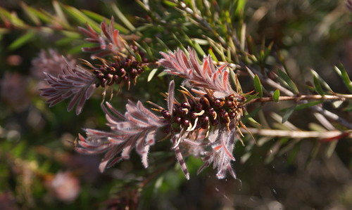 Callistemon - Beachmont by tervo.michael