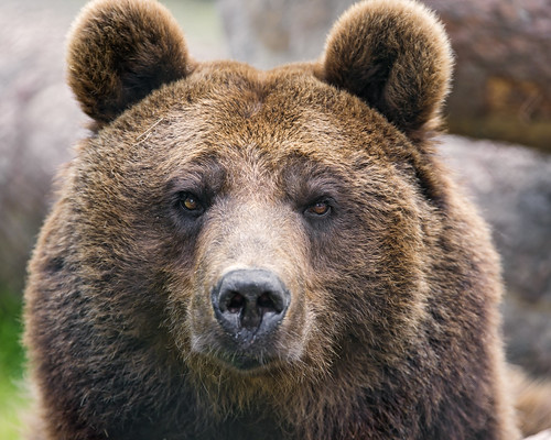 Brown bear portrait II