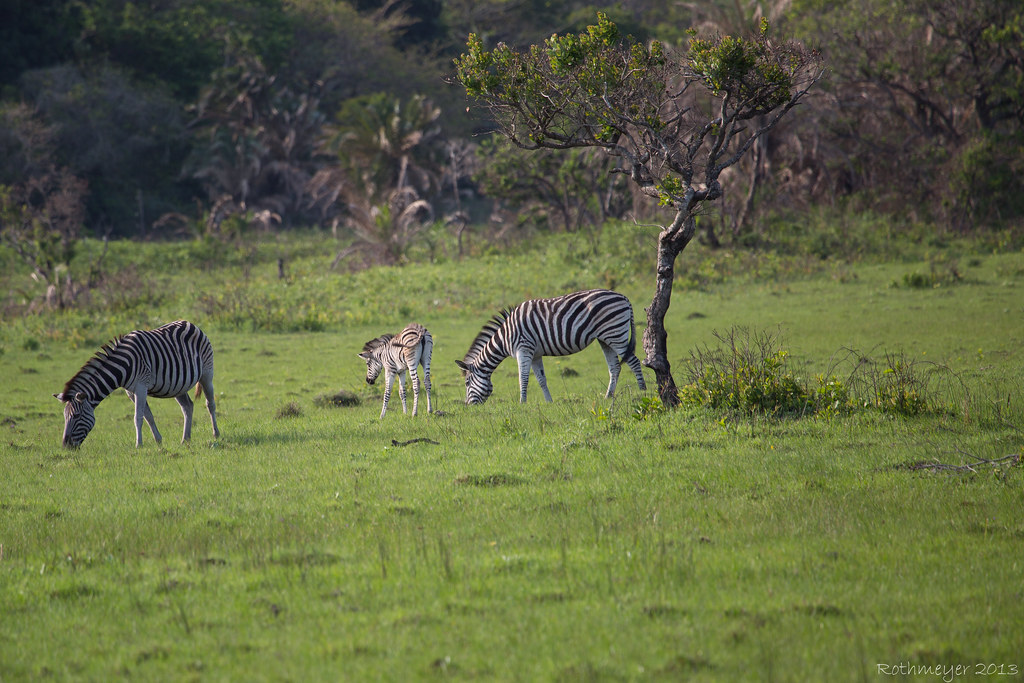 Zebra near St. Lucia South Africa