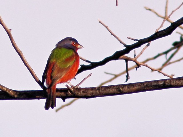 Painted Bunting male 20131008