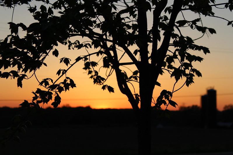 My Maple Tree Sunset