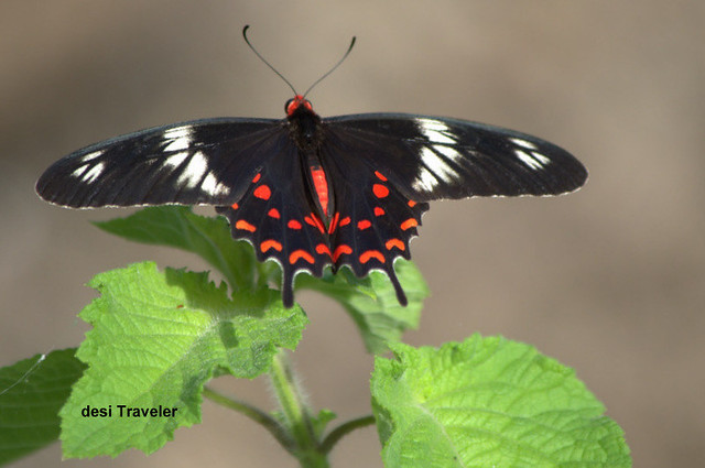 Crimson Rose Butterfly