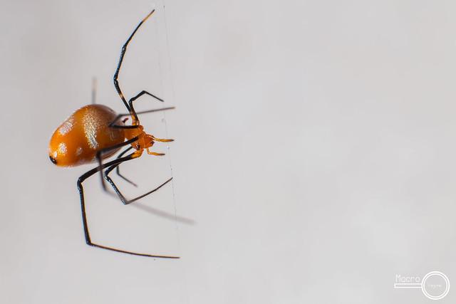 Argyrodes flavescens (Food Stealing Spider)