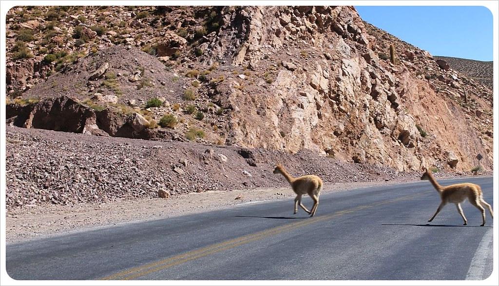 30 llamas on the road